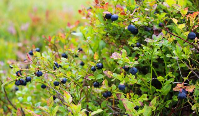Blueberries in the forest in Norway