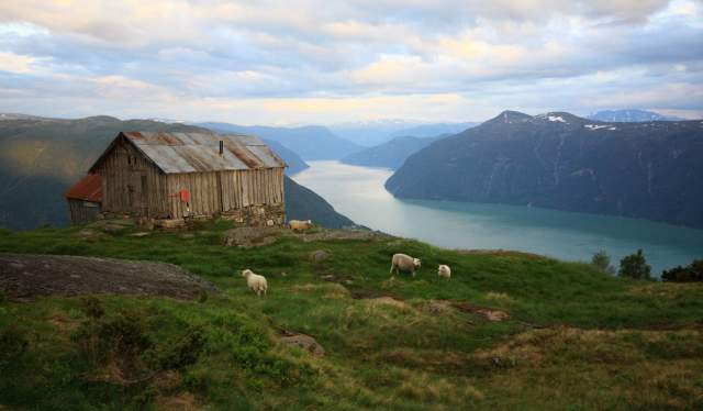 Sheep grazing around an old barn above the Sognefjord in Fjord Norway