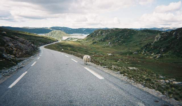 A sheep on a road in Lysebotn, Fjord Norway