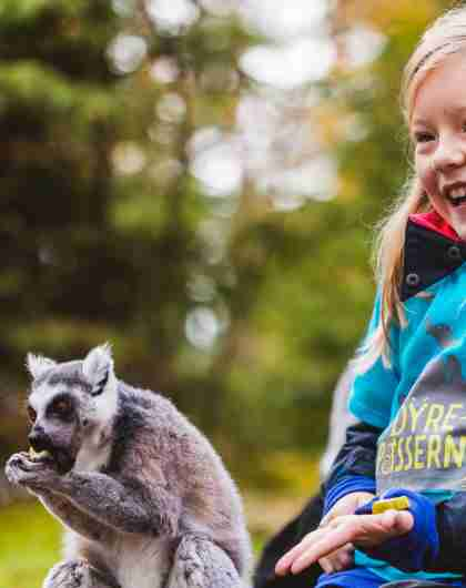 En pige fodrer en lemur i Kristiansand Dyrepark i det sydlige Norge