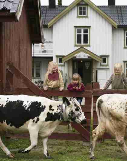 Трое детей наблюдают за двумя коровами на ферме «Фаннремсгорден» в Трёнделаге, Норвегия