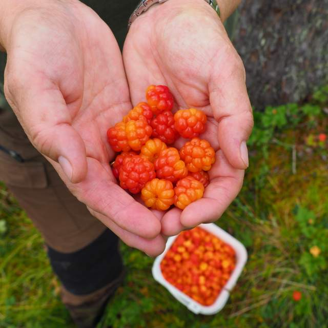 Cloudberries found in a forest in Eastern Norway
