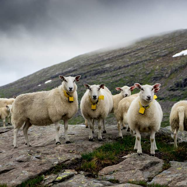 A flock of sheep grazing in the mountains in Fjord Norway