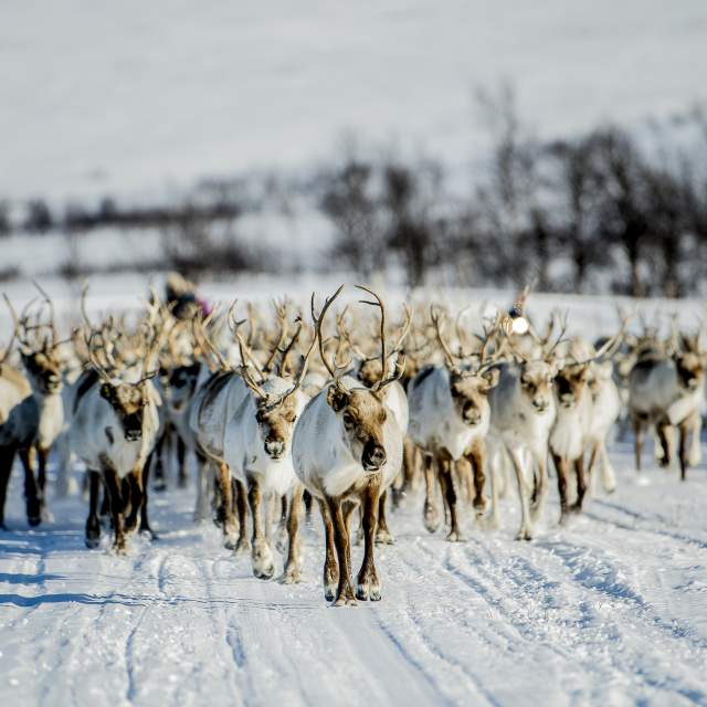 A herd of reindeer walking in a snowy landscape at Finnmarksvidda, Finnmark