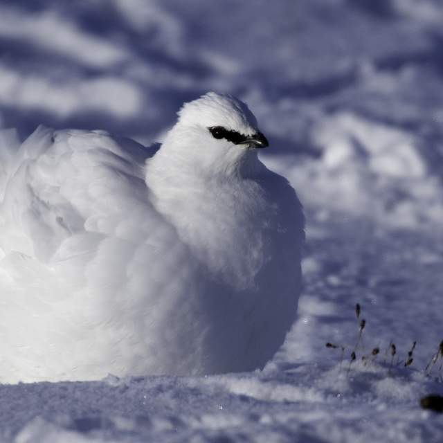 Close-up of a white Rock Ptarmigan in the snow in Norway