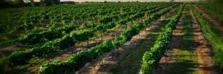 Vineyard at Messina Hof