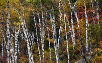 White Birches in Autumn