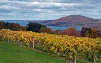 Vineyard along western shore of Canandaigua Lake 1041