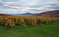 Vineyard along western shore of Canandaigua Lake 1043