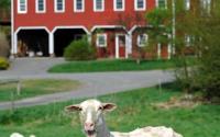 Old Chatham Sheep Herding Company 1201