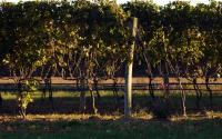 Long Island Vineyard 1427