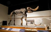New York State Museum - Cohoes Mastodon