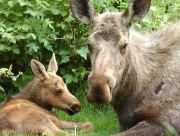 Anchorage moose and wildlife viewing tours