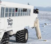 Polar bear viewing Frontiers North Adventures