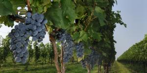 vineyard_row_1.jpg