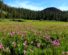 Mammoth Wildflowers