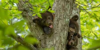 Bear Cubs in Tree