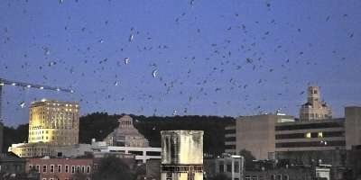 Photo of the Day: Chimney Swifts