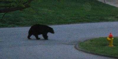 Black Bear Sighting in Asheville