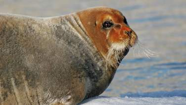Seal in Kongsfjorden, Spitsbergen