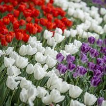 A Master Plan of 120,000 Tulips: Inside Topeka's Tulip Time Celebration