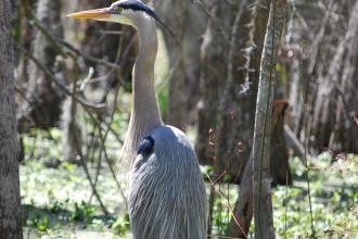 Honey Island Swamp - Blue Heron