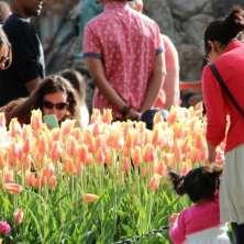 Tulip Festival: Weekend Fun in Full Bloom