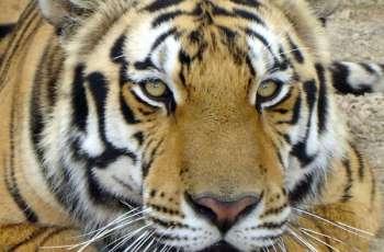 Tigers for Tomorrow Towzer