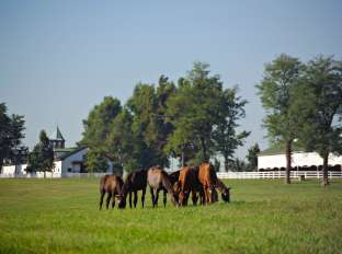 Horses at Calumet Farm