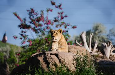 Female Lion at Utah's Hogle Zoo Brew