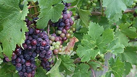 Grape vines along the Canandaigua Wine Trail Photo Courtesy of Canandaigua Wine Trail