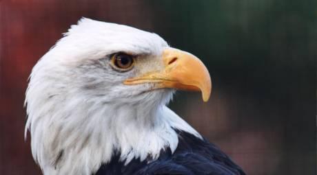 Elmwood Park Zoo - Bald Eagles