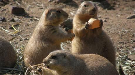 Elmwood Park Zoo - Prairie Dogs