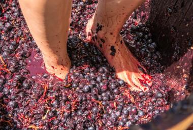 Grape stomp at Grgich Hills winery