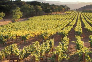 Vineyards Oakville