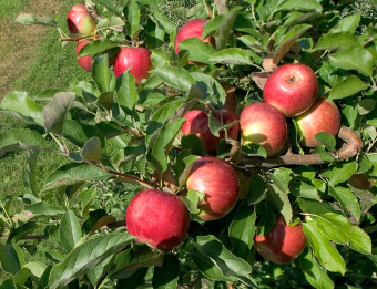 Apple tree near apple cider locations near Grand Rapids