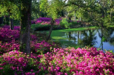 Azaleas and trees along lake