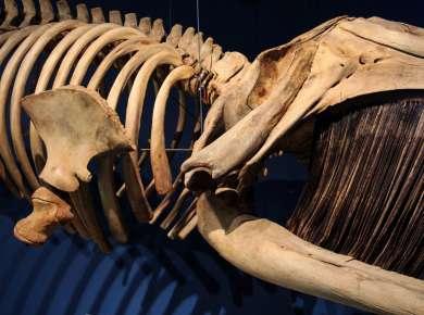 Whale skeleton