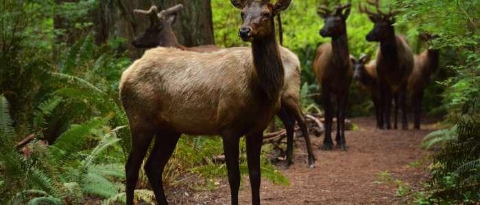 Roosevelt Elk in Redwood National Park