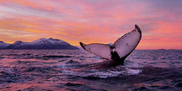 The tail of a whale off the coast of Tromsø