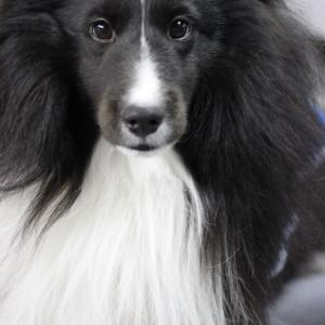 Capital City Classic, nation's largest cluster of dog shows, returns to Topeka