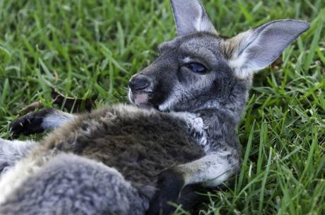 A baby kangaroo, or joey, soaking up sunshine at Global Wildlife Center