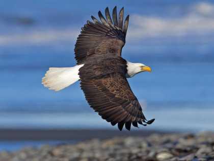 Bald eagle flying near Anchorage