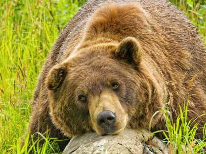 Alaska brown bear viewing Alaska Wildlife Conservation Center