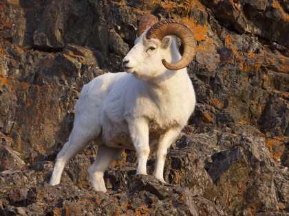 Dall sheep on Turnagain Arm