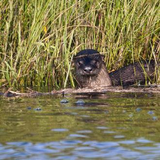 Cane Bayou River Otter