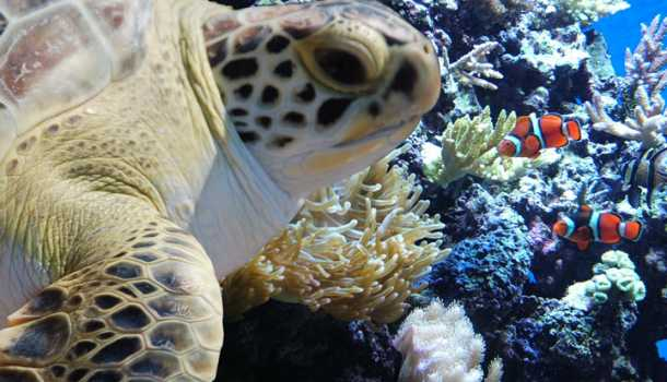 Sea turtle at the NC Aquarium at Fort Fisher