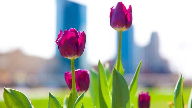 Skyline With Tulips