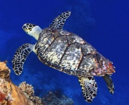Sea Turtles of Southwest Florida