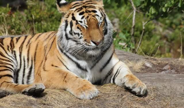 Tiger in Kristiansand dyrepark Zoo